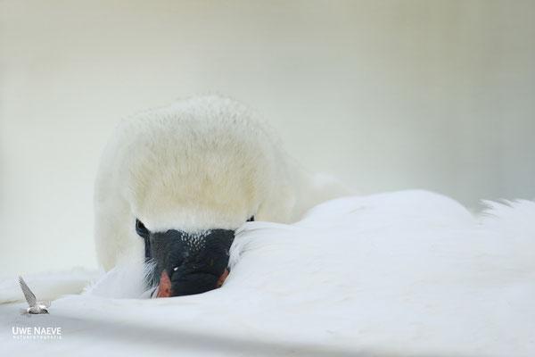 Hoeckerschwan,Mute Swan,Cygnus olor 0024