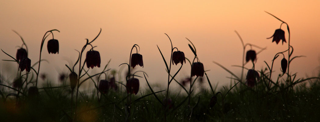 Schachbrettblume,Kiebitzei,Fritillaria meleagris,Fritillary 0034