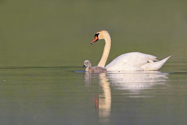 Hoeckerschwan,Mute Swan,Cygnus olor 0069