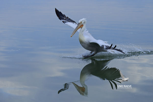 Krauskopfpelikan,Dalmatien pelican,pelecanus crispus 0100