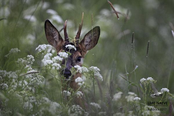 Rehbock Capreolus capreolus Roe Deer buck 0217