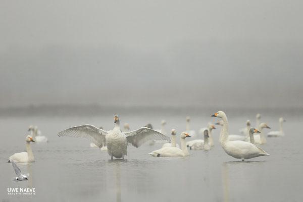 Zwergschwaene,Cygnus bewickii,Bewicks Swan 0112