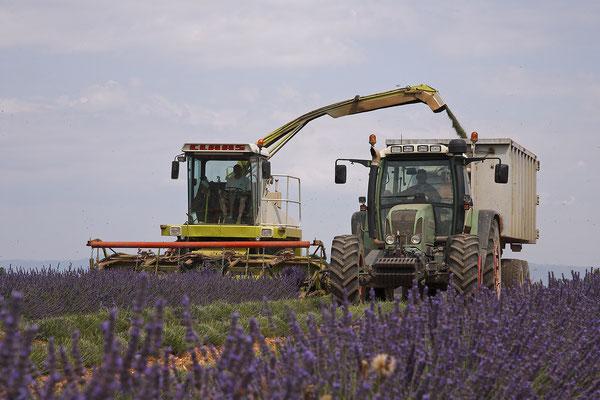Lavendel,Lavender,Lavendula angustifolia 0038