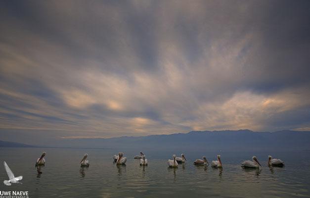 Krauskopfpelikan,Dalmatien pelican,pelecanus crispus 0038