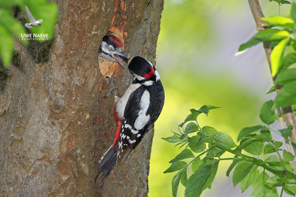 Buntspecht,Great Spotted Woodpecker,Dendrocopos mayor 0057