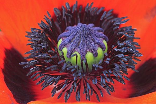 Tuerkischer Mohn papaver orientale Poppy 0001