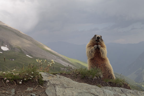 Alpenmurmeltier,Marmota,Marmot 0068