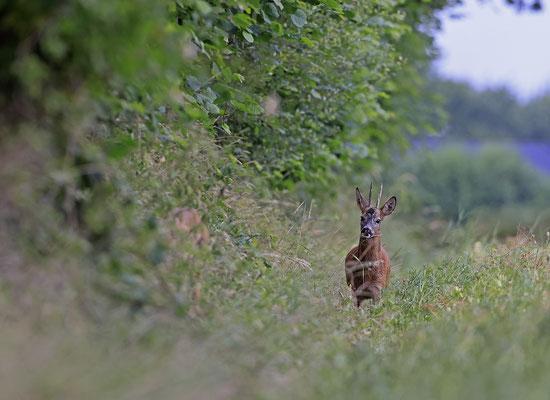 Rehbock,Capreolus capreolus,Roe Deer buck 0268