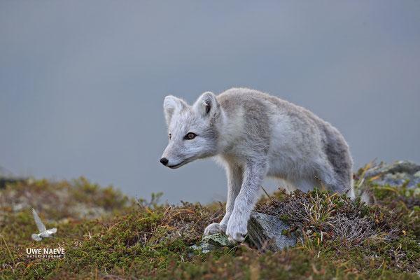 Polarfuchs,Eisfuchs,Arctic Foxes,Alopex lagopus,Vulpex lagopus 0078