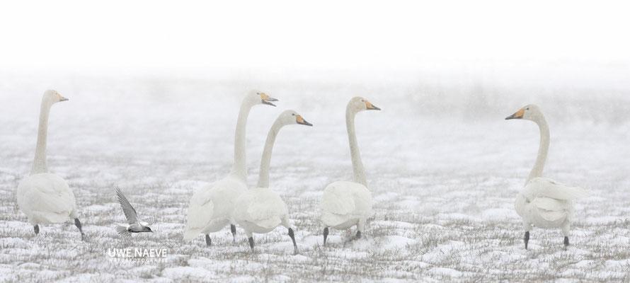 Singschwan,Whooper Swan,Cygnus cygnus 0025