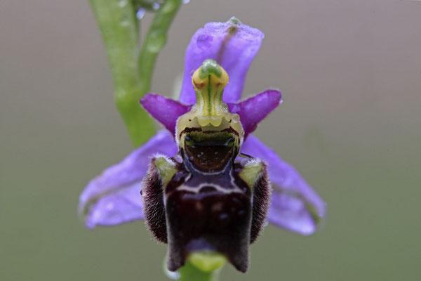 Durance-Hummel-Ragwurz Ophrys druentica 0004
