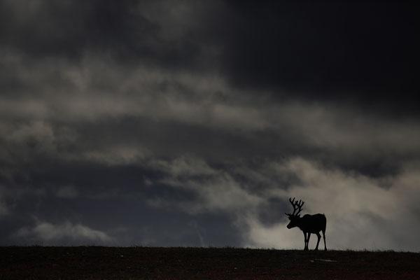 Ren Rentier Rangifer tarandus Reindeer 0133