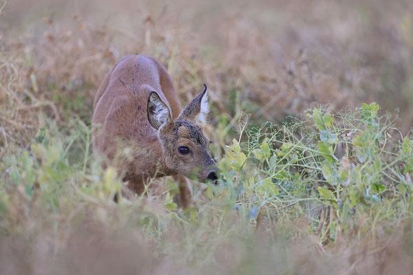 Reh,Ricke,Roe Deer doe,Capreolus capreolus 0232