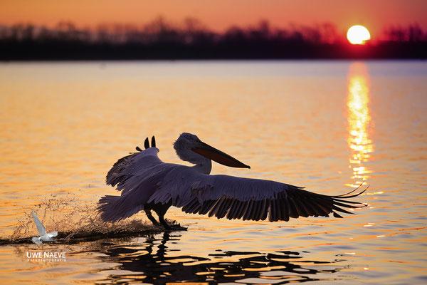 Krauskopfpelikan,Dalmatien pelican,pelecanus crispus 0087