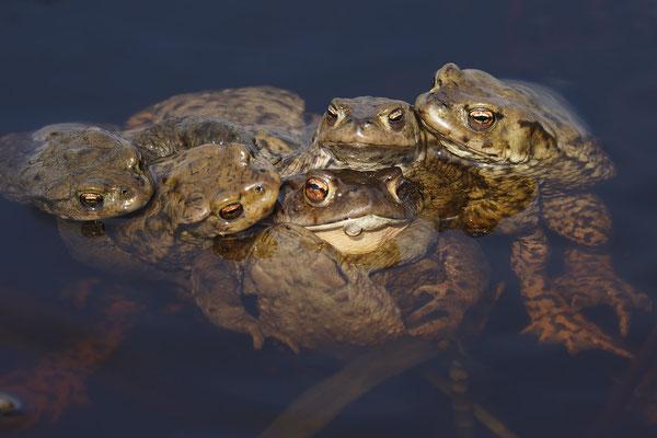 Erdkroete,Bufo bofo,Cammon Toad 0020
