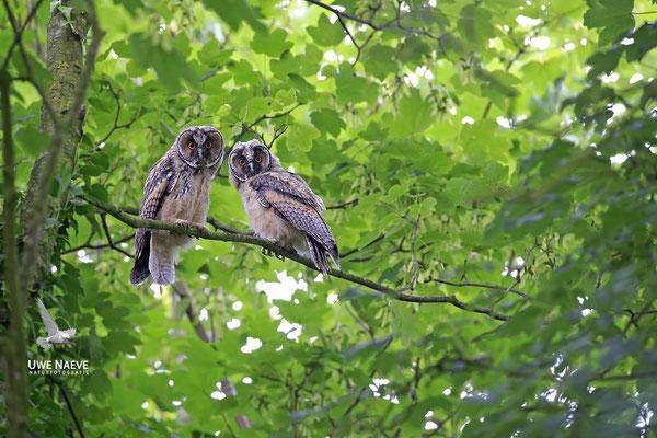 Waldohreule,Asio otus,Long-eared Owl 0042