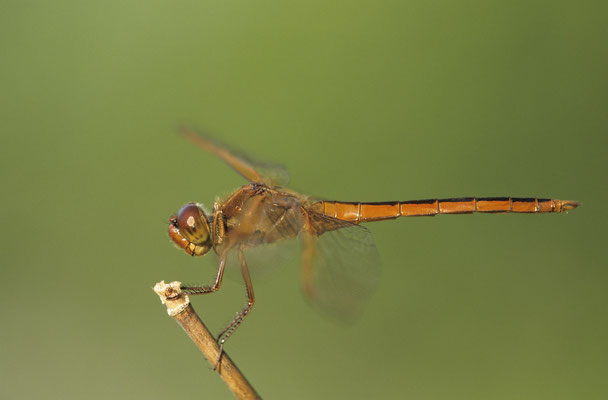 Golden -winged Skimmer ,Libellula auripennis 00723