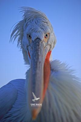 Krauskopfpelikan,Dalmatien pelican,pelecanus crispus 0052