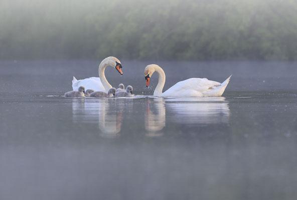Hoeckerschwan,Mute Swan,Cygnus olor 0073