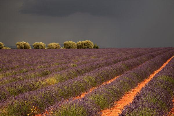 Lavendel,Lavender,Lavendula angustifolia 0050