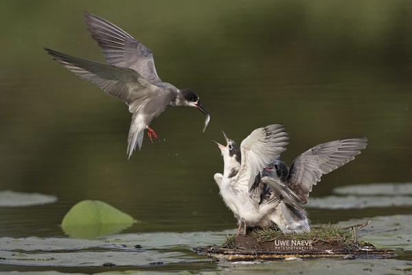 Trauerseeschwalbe,Black Tern,Chlidonias niger 0013