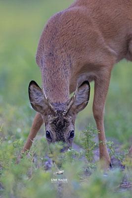 Rehbock,Capreolus capreolus,Roe Deer buck 0252