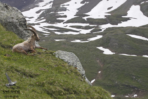 Steinbock Capra ibex Capri corn