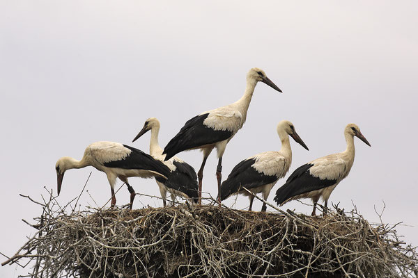 Weissstorch,White Stork,Ciconia ciconia 0116