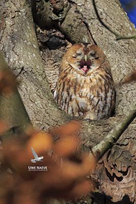 Waldkauz,Strix aluco,Tawny Owl 0034