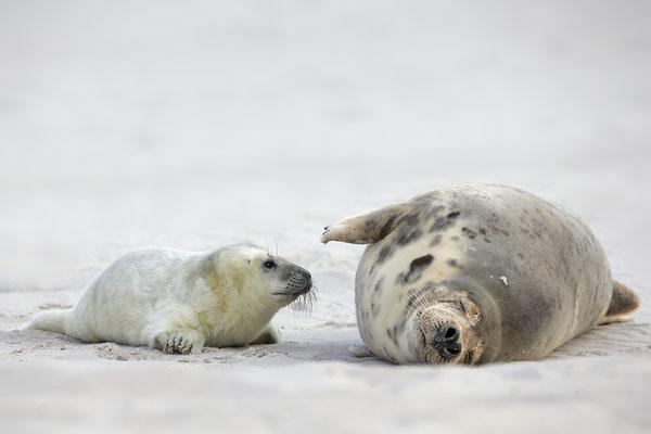 Kegelrobbe,Grey Seal,Halichoerus grypus 0177
