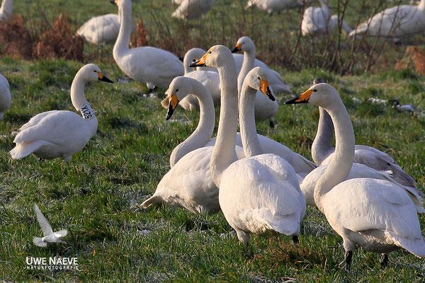 Singschwan,Whooper Swan,Cygnus cygnus 0045