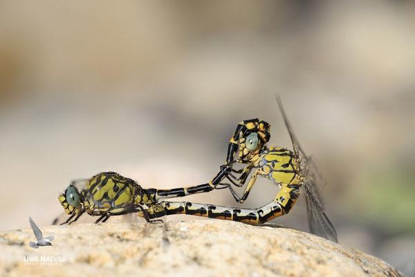 Kleine Zangenlibelle Paarungsrad Onychogomphus forcipatus unguiculatus 0004