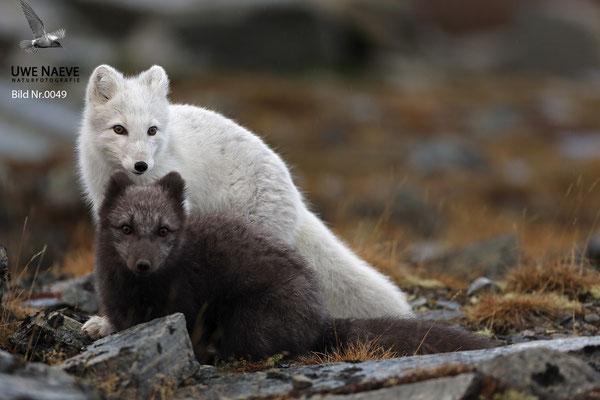 Polarfuchs,Eisfuchs,Arctic Foxes,Alopex lagopus,Vulpex lagopus 0049