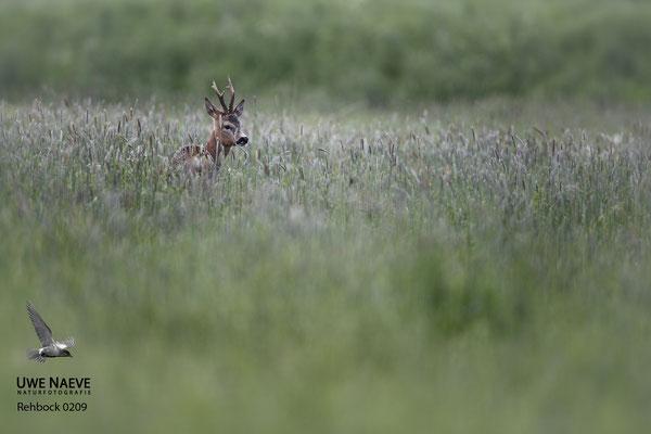 Rehbock Capreolus capreolus Roe Deer buck 0209