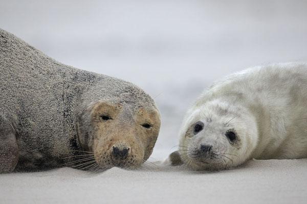 Kegelrobbe,Grey Seal,Halichoerus grypus 0147