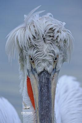 Krauskopfpelikan,Dalmatien pelican,pelecanus crispus 0030