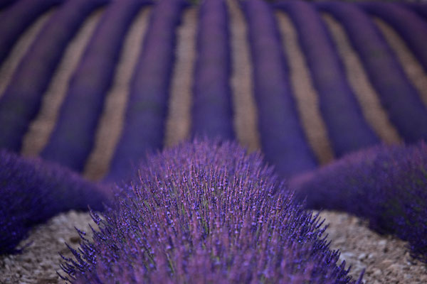 Lavendel,Lavender,Lavendula angustifolia 0062