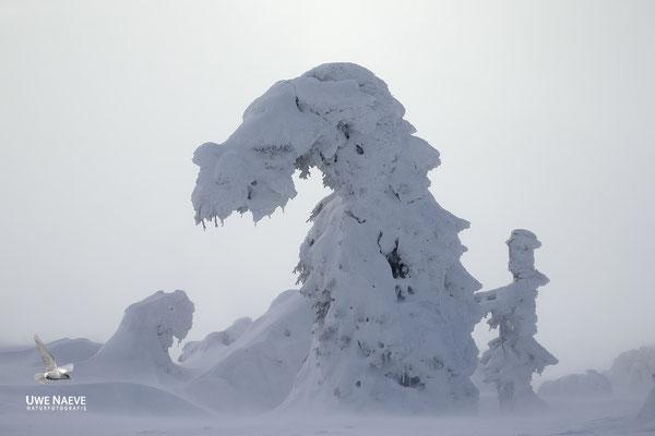 Harz, Brocken,Fichtenwald im Winter 8813