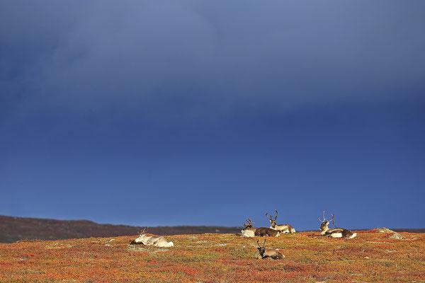 Ren Rentier Rangifer tarandus Reindeer 0121