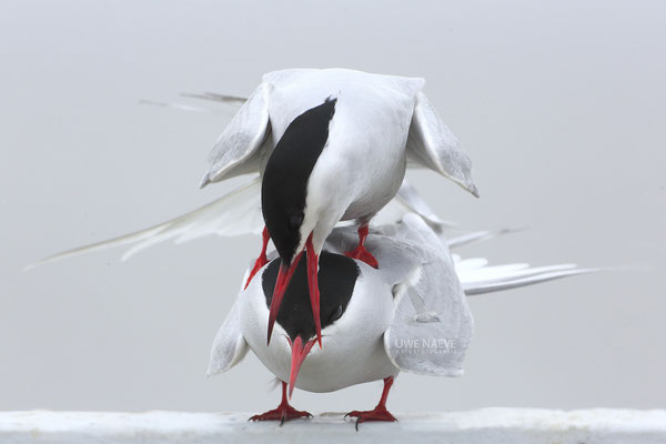 Küstenseeschwalbe,ArcticTern,Sterna paradisaea 0053