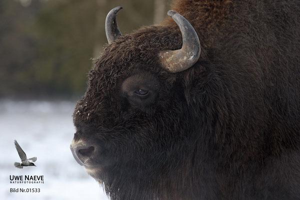 Wisentbulle,Bison bonasus,European Bison 01533