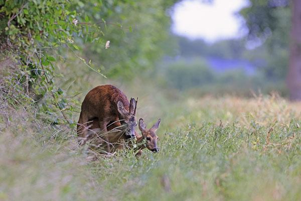 Rehbock,Capreolus capreolus,Roe Deer buck 0266
