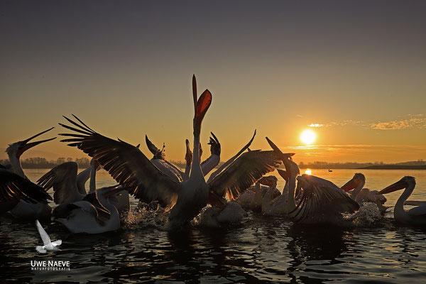 Krauskopfpelikan,Dalmatien pelican,pelecanus crispus 0044
