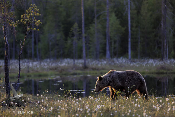 Braunbaer Ursus arctos brown bear