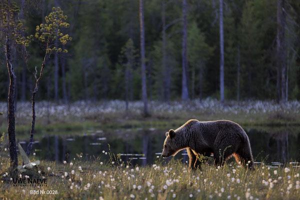 Braunbaer Ursus arctos brown bear 0028