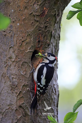 Buntspecht,Great Spotted Woodpecker,Dendrocopos mayor 0052