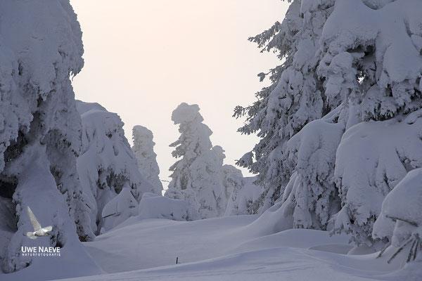 Harz, Brocken,Fichtenwald im Winter 8917