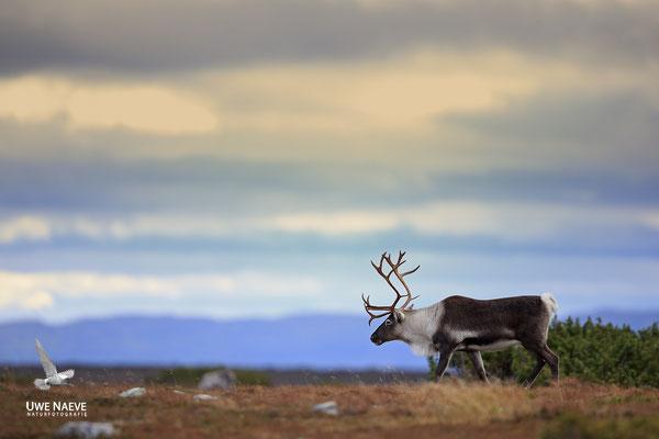 Ren Rentier Rangifer tarandus Reindeer 0101