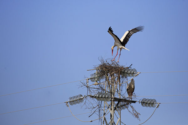 Weissstorch,White Stork,Ciconia ciconia 0112