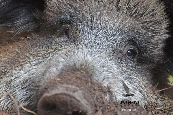 Wildschweinbache,Wild Boar sow,Sus scrofa 0010